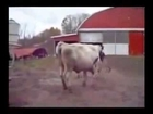 Bull and Cow Love Farm Animals Mating