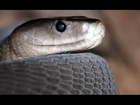 The Deadly Black Mamba Snake - Africa's Most Dangerous Snakes [Nature Wildlife Documentary]
